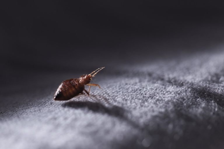 Pest bed bug close up